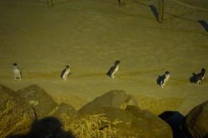 pingouin5